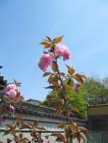 八重桜(関山)1