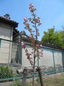 八重桜(関山)2