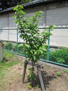 葉の茂った八重桜(関山)